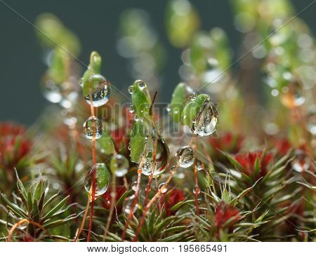 Macro of big water drops on pohlia moss capsules (Pohlia nutans)
