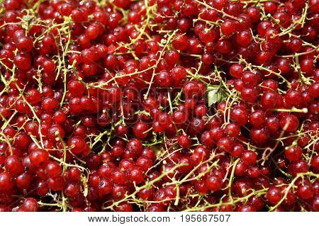 Shiny pile of ripe redcurrant berries in the sunlight