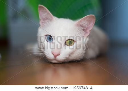 Portrait of a white cat with different eyes color