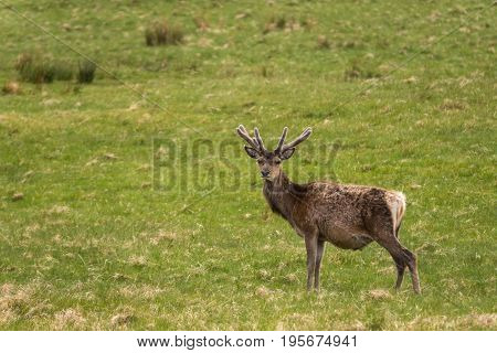 Assynt Peninsula Scotland - June 7 2012: Closeup of one wild Red Deer standing in grassy field. Brown hide with antlers and looking at camera.