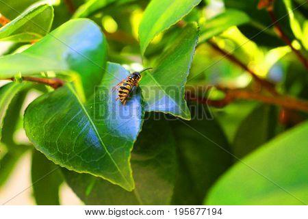 A wasp on a green camelia leaf - July 17th 2017