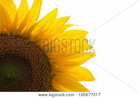 The Sunflower isolated on white background. Flower