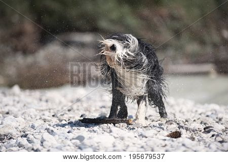 Very wet Bearded Collie shaking off water.
