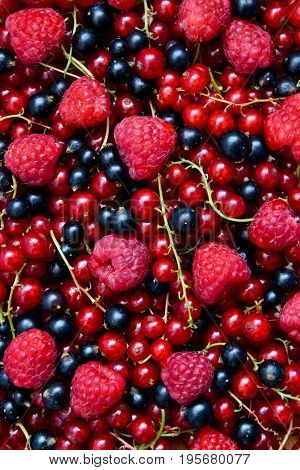 Berries organic background. Raspberry red and black currant organic fresh from village garden. Ecological organic berries for desserts smoothie or jam.