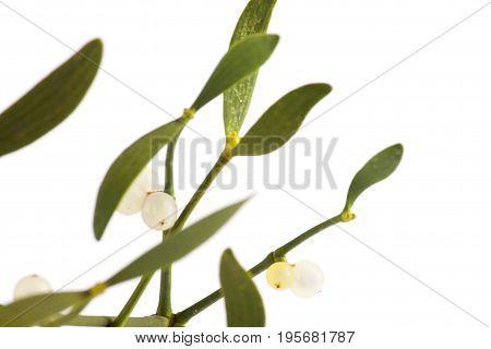 Green Mistletoe Isolated On White Background.