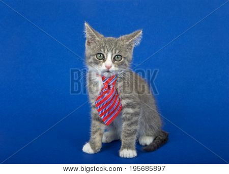 Gray and white kitten wearing a red and blue striped tie sitting on a blue background looking at viewer. Ears cocked with perplexed expression