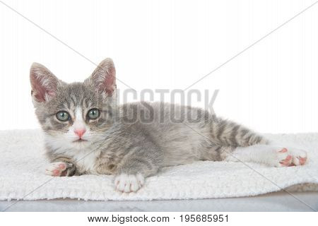 Gray and white kitten laying on sheepskin blanket looking at viewer. White background reflective surface in foreground.
