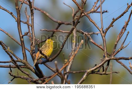 Yellowhammer (Emberiza citrinella) passerine bird singing on branch against blue sky, Poland, Europe