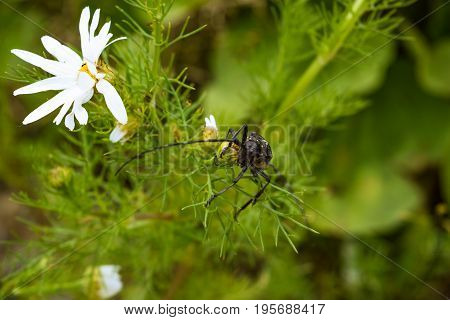 Big Capricorn Beetle Is Sitting On A Daisy Close-up