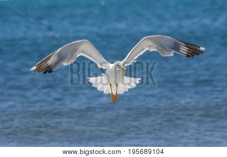 The flying white seagull against sea background.