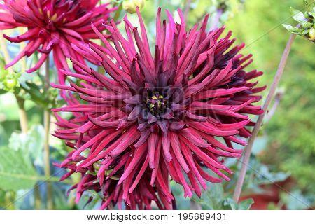 Garden / Dahlia - a very beautiful autumn colors