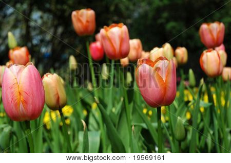 Colorful spring Tulips in full bloom