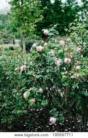Roses in bloom in French rose garden