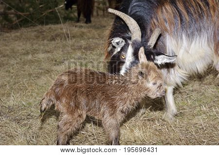 goat kids. Really cute face of a baby brown goat in the wild.