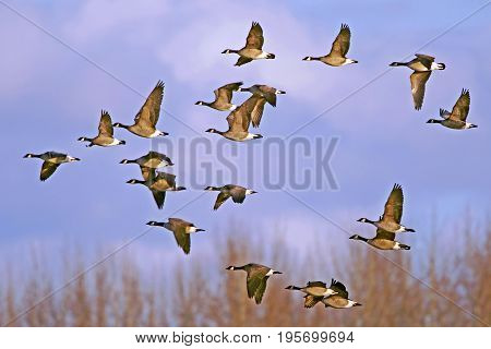 Flock of Canada Geese in flight during spring migration