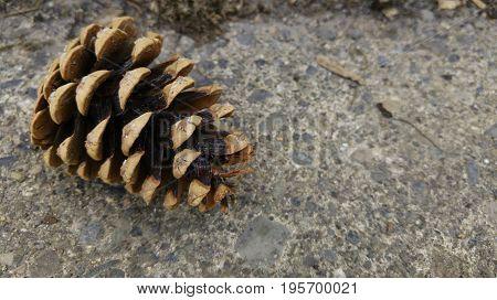 Large pine cone fallen on sidewalk in autumn