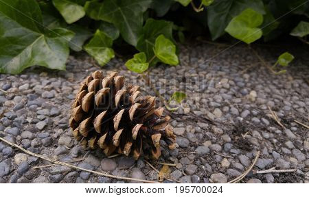 Large pine cone fallen on sidewalk with ivy growing in background