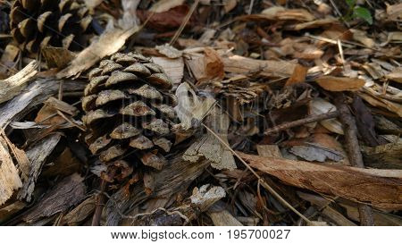 Pine cones fallen on ground with twigs and small branches. Seasonal background.