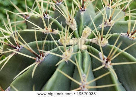 Barbed Crown Cactus Echinopsis