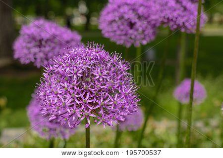 Purple allium flower, allium giganteum. Flower decorative bow. Flower in shape of the ball