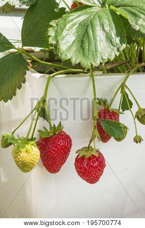 Bunch of ampel strawberries hanging on porcelain kashpo