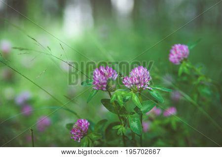 Clover flowers in green grass. Toned. Pink clover