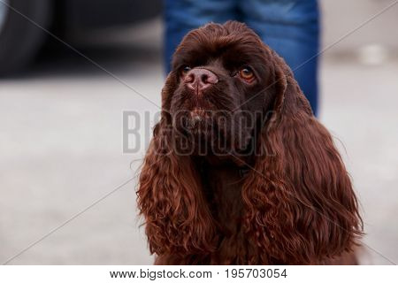 Portrait of a dog breed American cocker spaniel close-up