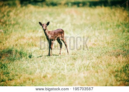 Fallow deer fawn in a sunny meadow.