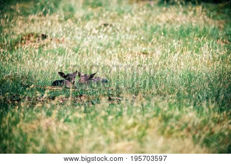 Two Dark Fallow Deer Fawns Lying In Grass.