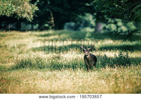 Fallow Deer Buck With Velvet Antlers In Dappled Sunlight.