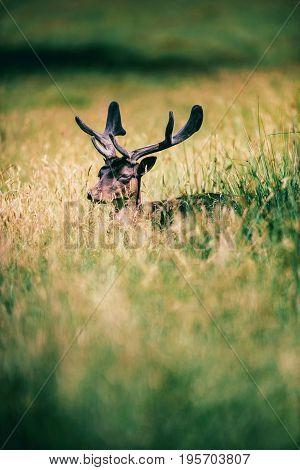 Head Of Fallow Deer Buck With Velvet Antlers In Grass.