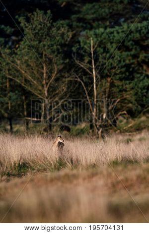 Mouflon Ewe In Tall Grass Lit By Evening Sun.