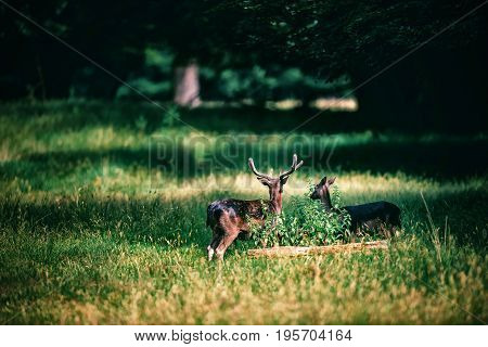 Fallow Deer Buck With Velvet Antlers And Doe In Forest Meadow.