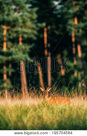 Red Deer With Pedicles In Velvet In Tall Grass Lit By Low Sun.