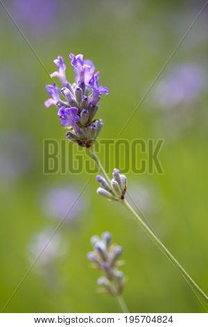 Closeup image of Lavandula angustifolia (Lavender) 'Ashdown Forest'