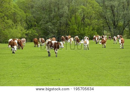 cows on green field. cows on field. Summer sunny day. Cow in pasture. Mountain meadow. Green meadow in mountains and cow summer landscape.