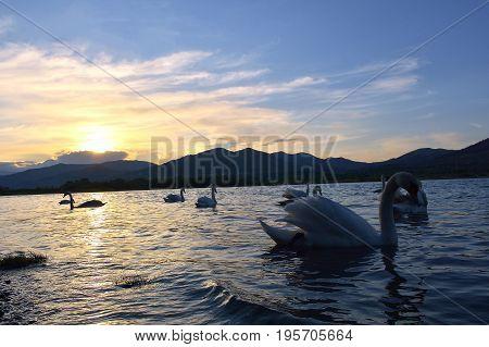 Swan During Sunset At Lake Bistrita, Neamt. Romania