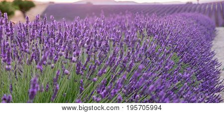 Beautiful Lavender Fields At Sunset Time. Valensole.provence, France