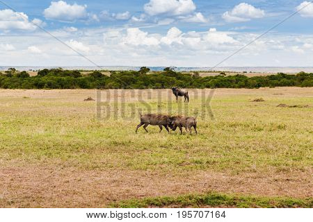animal, nature and wildlife concept - warthogs fighting in maasai mara national reserve savannah at africa
