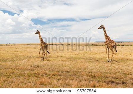 animal, nature and wildlife concept - giraffes in maasai mara national reserve savannah at africa
