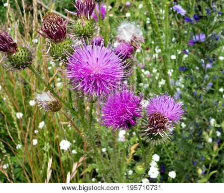 wild beautiful bright and prickly Thistle in sunny day