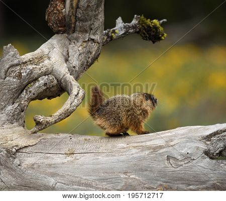 a baby marmot stands on a gnarly tree
