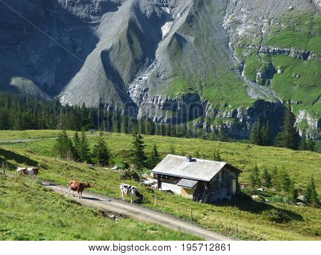 A small farmstead in the mountains of Switzerland with cows walking on the road by the farm.