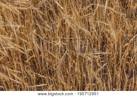 Wheat Grain Crop Field On A Sunny Day
