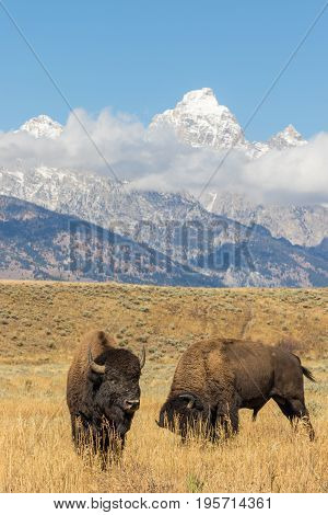 bison in fall with the Teton range as a backdrop