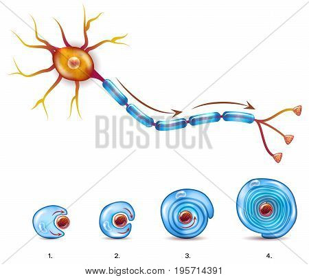 Neuron Anatomy And Myelin Sheath