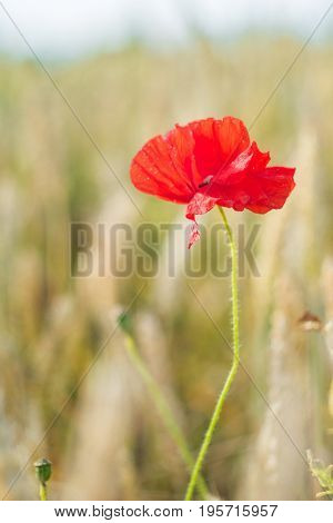 One red poppy flower with defocused background of ripe wheat field. Vertical