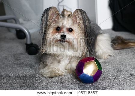 Chinese Crested Dog Portrait. Small Cute Dog In A Room Near A Small Ball