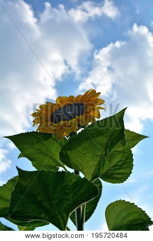 A large sunflower on the field   (  Helianthus annuus, Asteraceae )   with sky, clouds and sun