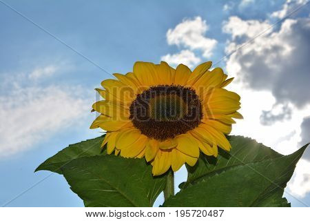 A big  sunflower  (  Helianthus annuus, Asteraceae )   with sky, clouds and sun
